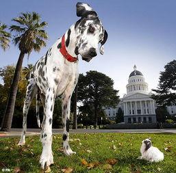 世界上最大的犬(世界上最大的犬是什么犬种)