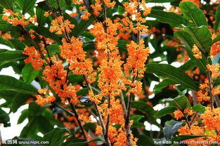 桂树四季常绿