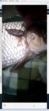 这是不是鱼的寄生虫啊