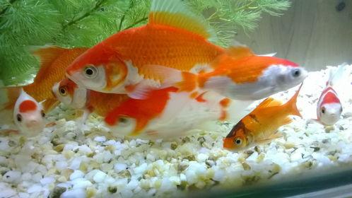 什么風水魚壽命長