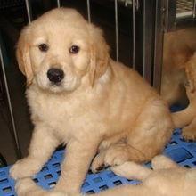 杭州出售纯种金毛幼犬 金毛寻回犬 公母都有 3个月大 包建康 宠物交易