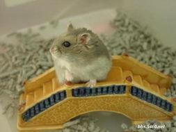 可爱仓鼠图片