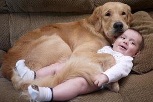 大金毛Arlo是个名副其实的大暖汪图片第25277张 狗狗宝贝图片