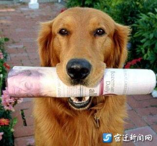 家中金毛犬不慎丢失 主人悬赏十克金条寻爱狗
