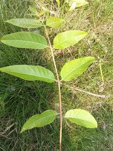这棵树是什么 它的果是蒴果 叶还是挺大的,香椿 臭椿 还是无患子科的某些树
