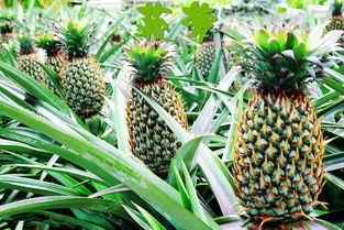 菠萝怎么养花