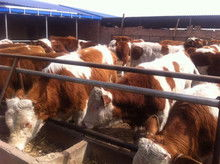 养20头牛国家补贴多少(果养殖20头牛,需要)