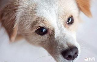 为什么狗不敢看人的眼睛