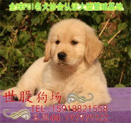 广州金毛犬,广州金毛图片,广州纯种金毛,金毛犬多少钱黄页88网