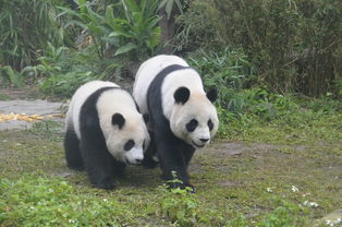 熊猫圆仔断奶了 一早起床依旧找妈妈