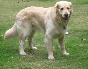 金毛犬疾病的观察判断方法