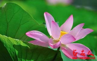 关于莲花与廉洁的诗句