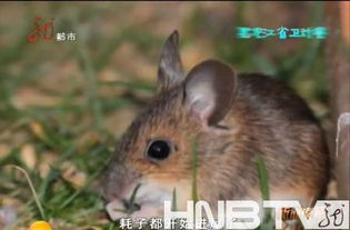 依安县男子患出血热病 疑似家中老鼠太多被传染