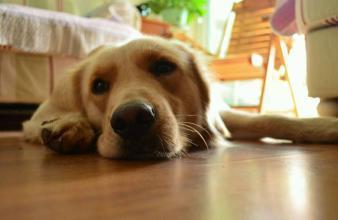 多数金毛都会得的皮肤病,你家狗狗有吗