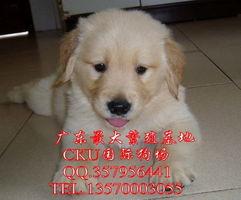标题 广州国际狗场直销纯种金毛犬巡回犬 纯种金毛幼犬价格多少 金毛犬图片 金毛犬多少钱