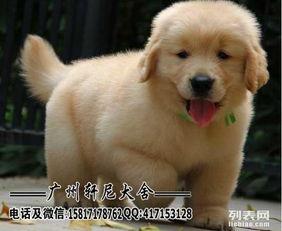 广东广州专业繁殖金毛狗场直销金毛幼犬 纯种健康