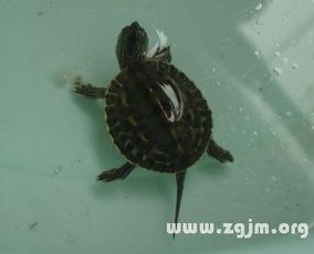 梦见乌龟长大