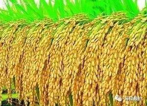 收集与水稻有关的知识