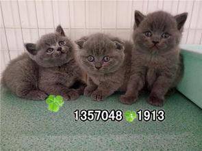 家养宠物英短蓝猫的注意事项