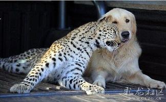 遇到一只聪明的金毛,好想养只狗狗啊