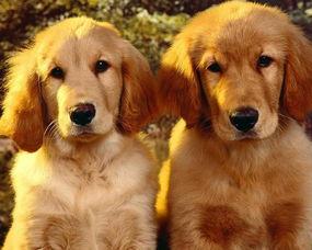 训练金毛寻回犬的准则与窍门