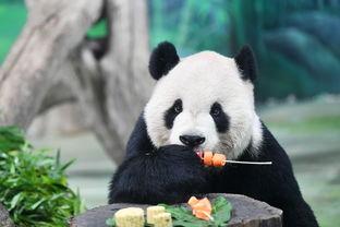 大熊猫吃月饼过中秋9月13日,台北动物园大熊猫圆仔在品尝果蔬串.