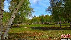 中国哪些地方有白桦林