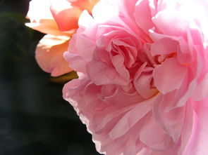 排灯节,软,粉红色,花,玫瑰,温柔,庆典,甜,场合,周年,友谊,花瓣,盛开,快乐,祝贺,关系,同舟共济,节日,开朗,一起,幸福,庆祝,春,和平,宁静,打坐,安静,气味,香味,香水,花的,妇女,女孩,女子,无罪