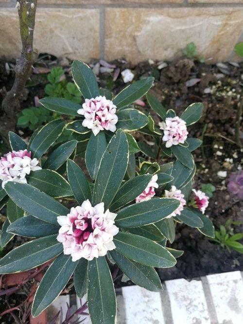 养花种植瑞香