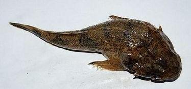 最贵的鱼是什么鱼(世界上最珍贵的鱼是什)