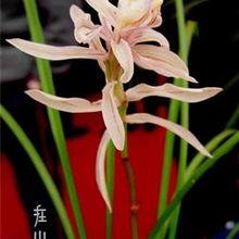 金沙树菊 1苗1芽1花苞