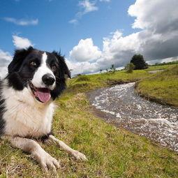 边境牧羊犬世界上最聪明的狗 边牧是最聪明的狗狗吗