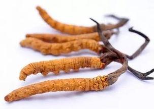 冬虫夏草(和润)(冬虫夏草烟价格表和图)