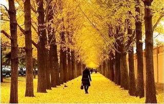 即將落葉的銀杏樹寫作文