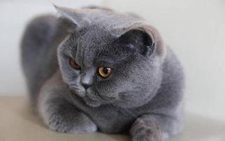 胖胖的猫咪品种