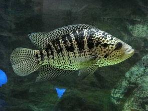 如何养花斑鱼