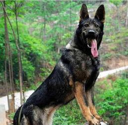 中国本土都有哪些猛犬