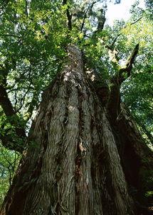 形容大树茂盛的句子