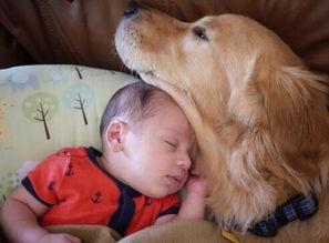 大金毛Arlo是个名副其实的大暖汪图片第25278张 狗狗宝贝图片