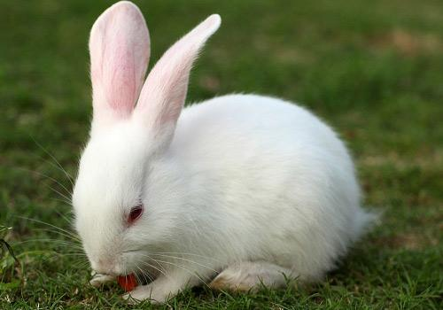 八字特弧别兔