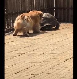 网友买了一只乌龟回来,没想到金毛跟在后面,学起它走路的姿势