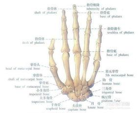今天我手的上面关节轻松擅斗了一下为什么手腕关节部突然一只手关节剧烈疼痛不为动怎是为什么