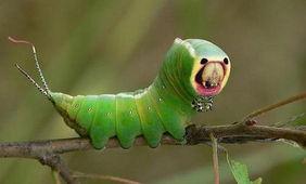 长得像外星生物的昆虫-昆虫也疯狂 盘点动物界的 ET