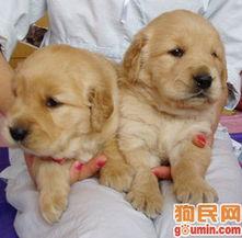 繁殖顶级金毛寻回猎犬幼犬绝对物超所值