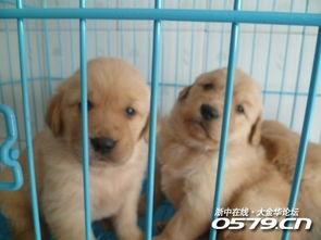 杭州哪里卖纯种头大金毛犬杭州纯种便宜健康金毛多少钱杭州金毛幼犬价格金毛犬图片 宠物交易