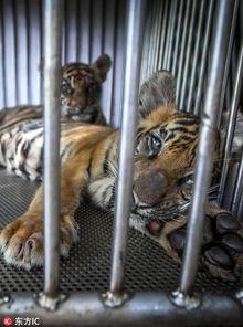 泰国旅游业黑暗真相 动物成 困兽 惨不忍睹