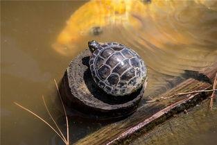 梦到背乌龟