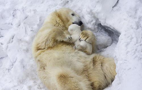 北极熊幼崽首秀怯场被妈妈叼出窝