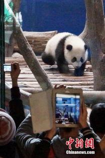 大熊猫宝宝 圆仔 首度见客 近万人争睹圆仔萌样