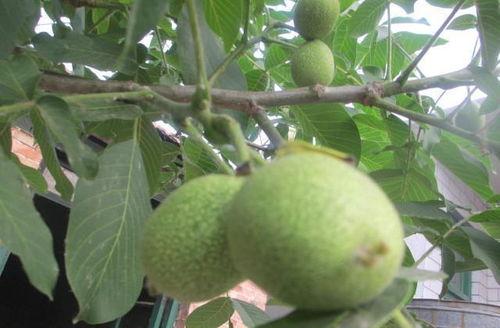 核桃树栽种位置风水